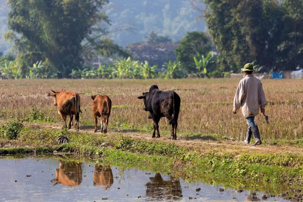koeien in rijstvelden
