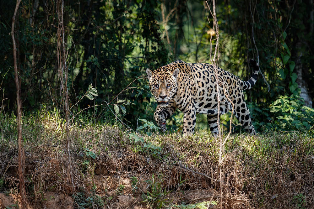 Jaguar, Brazilië