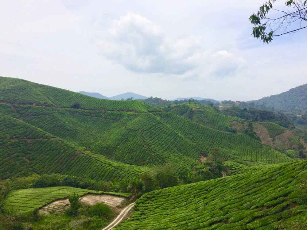 Sungai Palas BOH Tea Estate