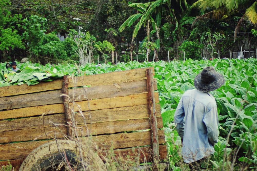 tabak plantages