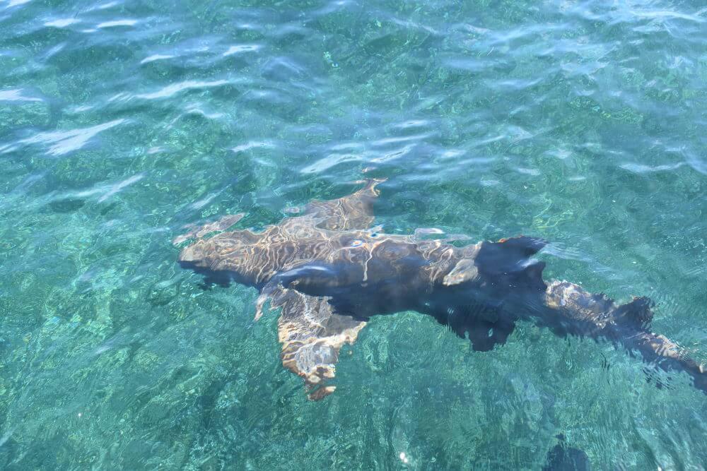 haaien bij Caye Caulker