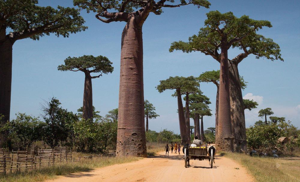 Allee de Baobab