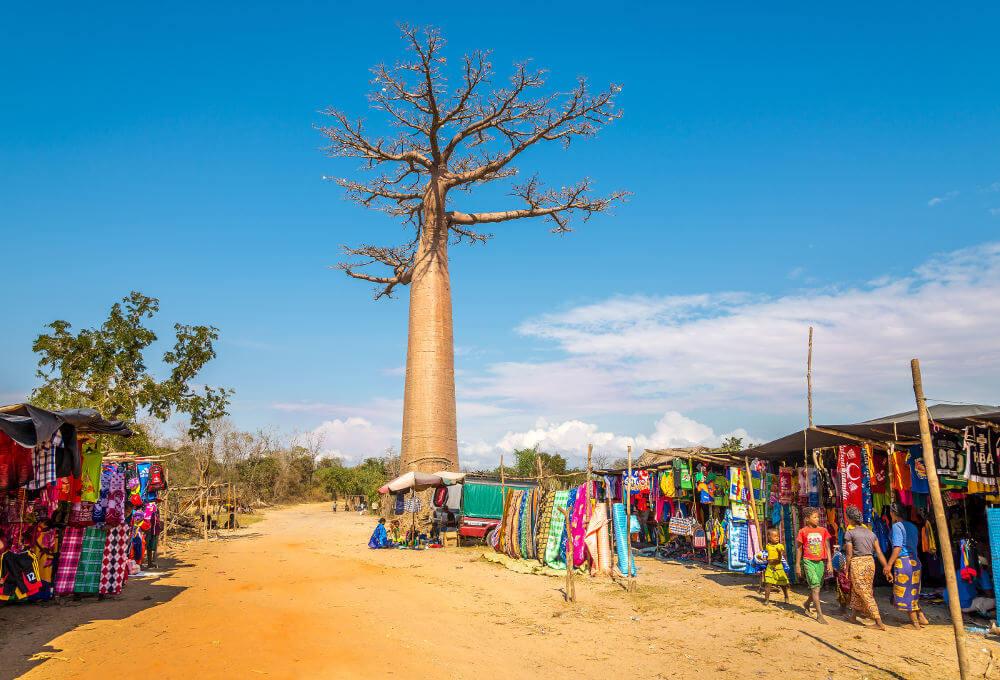 Allee de Baobabs