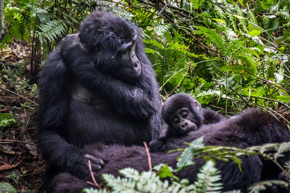 Bwindi national park in Afrika