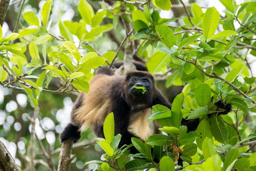 Apen in de Jungle vlakbij El Mirador