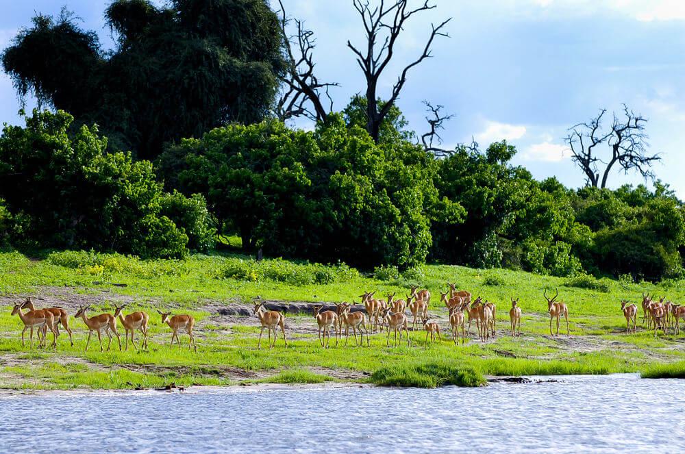 Impalas Chobe