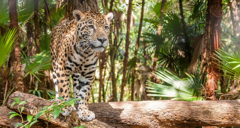 Cockscomb, Jaguar, Belize