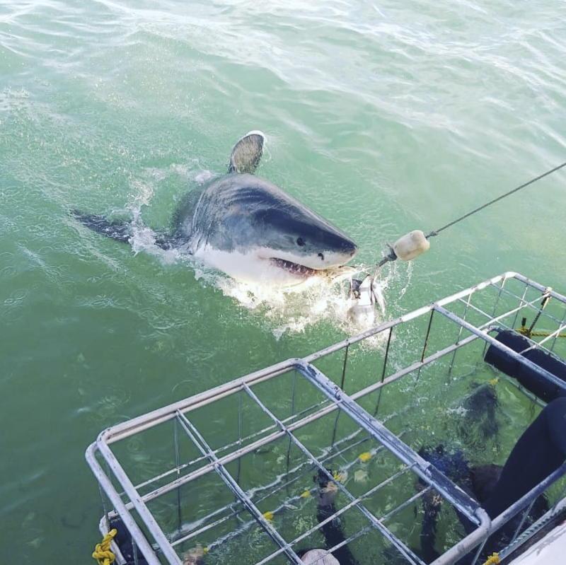 Duiken met witte haaien