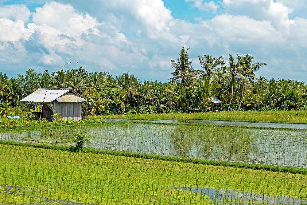 Sanur rijstvelden