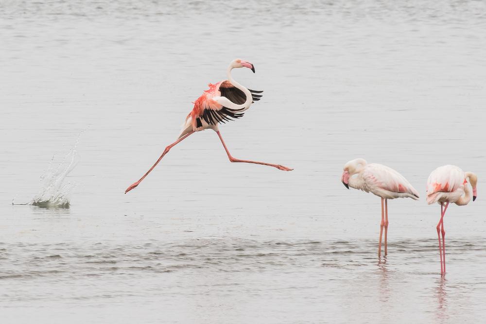 flamingo Walvisbaai